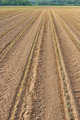 field of corn seedlings - PhotoDune Item for Sale