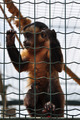 squirrel monkey - PhotoDune Item for Sale