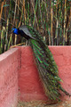 peacock with colorful plumage - PhotoDune Item for Sale