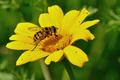 honey bee on yellow flower - PhotoDune Item for Sale