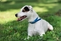 jack russel on spring forest - PhotoDune Item for Sale