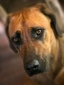 Rhodesian ridgeback dog - PhotoDune Item for Sale
