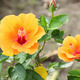 orange hibiscus flower - PhotoDune Item for Sale