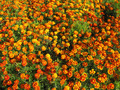 beautiful flower of tagetes - PhotoDune Item for Sale