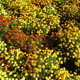 beautiful bed of flowers of tagetes - PhotoDune Item for Sale
