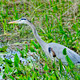 Blue Heron - PhotoDune Item for Sale