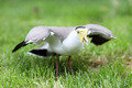 Masked lapwing, vanellus miles - PhotoDune Item for Sale