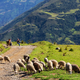 Sheeps in Bolivia - PhotoDune Item for Sale