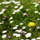 Spring Dandelions and Daisies English Meadow - PhotoDune Item for Sale