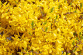 Yellow flower Forsythia - PhotoDune Item for Sale