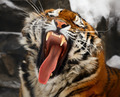Yawning tiger - PhotoDune Item for Sale