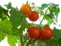 Red tomatoes - PhotoDune Item for Sale