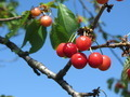 Cherries on a Tree 2 - PhotoDune Item for Sale