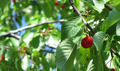 Cherry on a Tree - PhotoDune Item for Sale