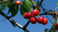 Cherries on a Tree 3 - PhotoDune Item for Sale
