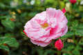 Landscape Roses - PhotoDune Item for Sale