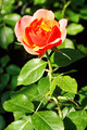 Jean Cocteau Rose - PhotoDune Item for Sale