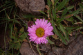 Pink flower - PhotoDune Item for Sale