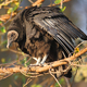 Black Vulture - PhotoDune Item for Sale