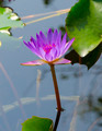 Pink lotus blossoms or water lily flowers blooming on pond - PhotoDune Item for Sale