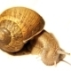 Snail On White Background 3 - VideoHive Item for Sale