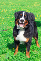 dog breed Bernese mountain standing and smiling - PhotoDune Item for Sale