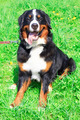 dog breed Bernese mountain sitting and smiling - PhotoDune Item for Sale