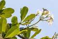 Branch of tropical flowers frangipani (plumeria) - PhotoDune Item for Sale