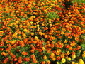 background of beautiful flower of tagetes - PhotoDune Item for Sale