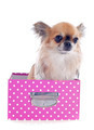chihuahua in a craft - PhotoDune Item for Sale