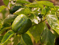 Capsicum - PhotoDune Item for Sale