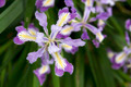 Oregon Irises in Bloom Closeup - PhotoDune Item for Sale