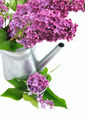 lilas and watering can - PhotoDune Item for Sale