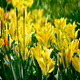 Yellow Tulips - VideoHive Item for Sale
