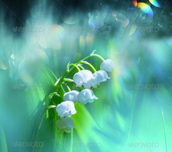 Lily of the valley - Stock Photo - Images