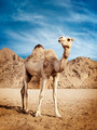 Camel - PhotoDune Item for Sale