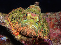 Scorpionfish - PhotoDune Item for Sale