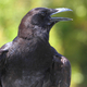 American Crow - PhotoDune Item for Sale