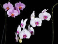 Orchids in the dark - PhotoDune Item for Sale