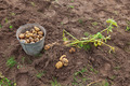Fresh potatoes in a potatoes field at the Novgorod region of Russia - PhotoDune Item for Sale