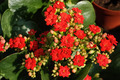Red Flowers of Kalanchoe - PhotoDune Item for Sale