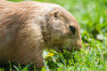 Prairie Dog - PhotoDune Item for Sale