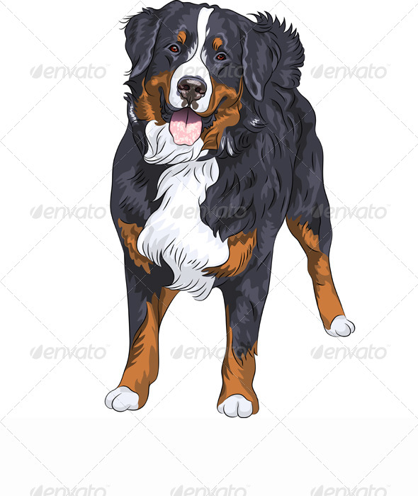 Vector Dog Breed Bernese Mountain Dog Smiling - Animals Characters