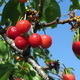 Cherries on Branch 2 - VideoHive Item for Sale