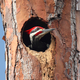 Pileated Woodpecker - PhotoDune Item for Sale