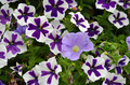 Purple and white petunias - PhotoDune Item for Sale