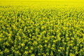 Rapeseed Field - PhotoDune Item for Sale