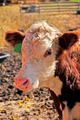 Hereford Calf - PhotoDune Item for Sale