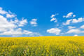 Rapeseed field and perfect blue sky - PhotoDune Item for Sale