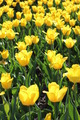 yellow tulips on the flower-bed - PhotoDune Item for Sale